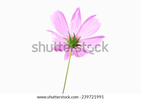 Pink single cosmos flower isolated on white