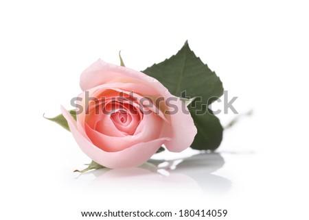 pink single rose on white background  - stock photo