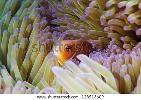 Pink skunk anemone clownfish in kosrae micronesia - stock photo