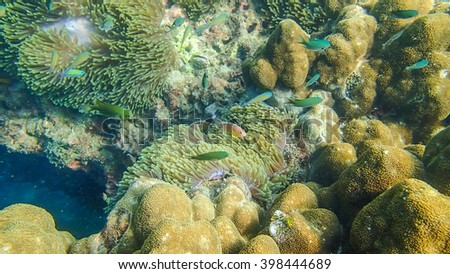 Pink skunk clownfishes with sea anemones in Cocks Comb Island - Myanmar