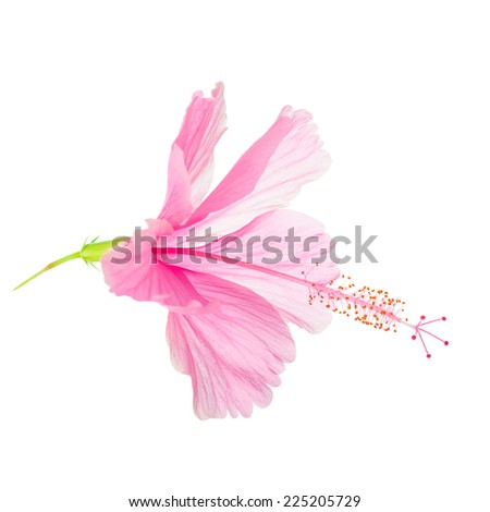 pink soft Hibiscus flower head is isolated on white background, closeup  - stock photo