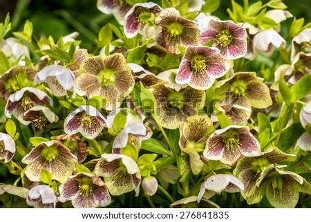 Pink speckled Hellebore flowers in early spring. - stock photo