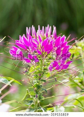 Pink spider flower(Cleome hassleriana) in the garden - stock photo
