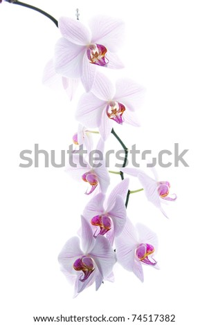 pink spotted  orchids isolated on white background
