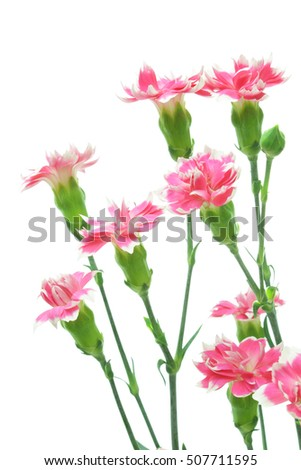 Pink spray carnations isolated on white background
