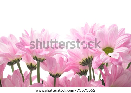 Pink spray mums - stock photo