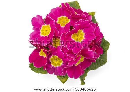 Pink spring primroses flowers, primula polyanthus in a flowerpot isolated on white background - stock photo
