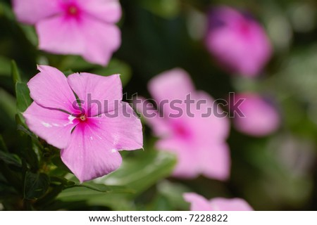 Pink star of bethlehem - stock photo