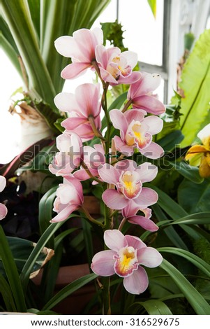 Pink star shaped orchids in the midst of green leaves