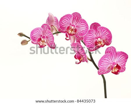 Pink streaked orchid flower on a white background - stock photo