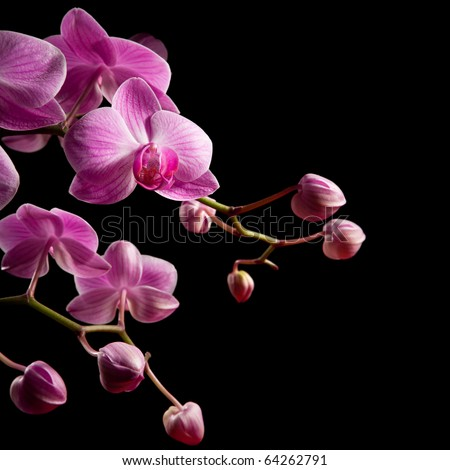 pink stripy backlit phalaenopsis orchid isolated on black, squarecomposition - stock photo