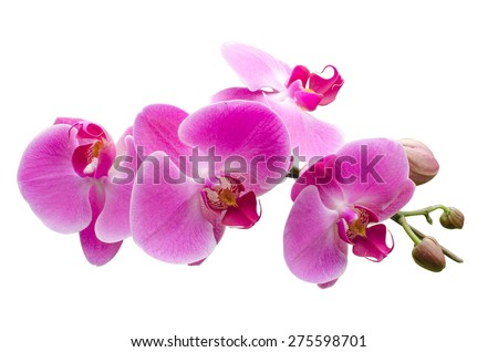 pink stripy phalaenopsis orchid isolated on white - stock photo