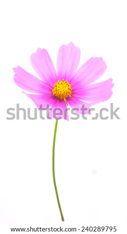 Pink Sulfur Cosmos flower on white