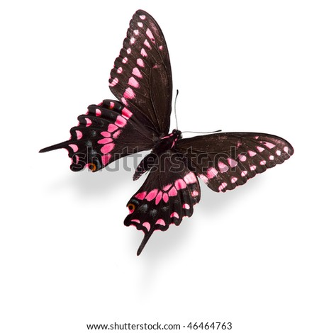 Pink swallowtail butterfly isolated on white. Critical focus on wing texture.