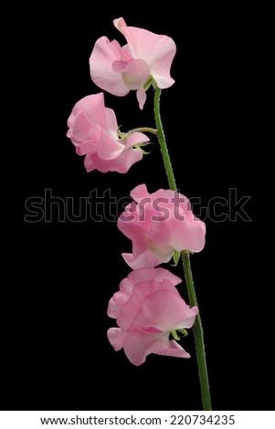 Pink sweet pea isolated on black background  - stock photo