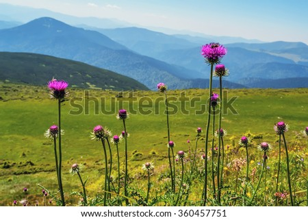 Pink thistle flowers on Carpathian mountains background, Ukraine - stock photo