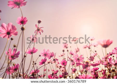 Pink tone of cosmos flower field. Sweet and love in valentine day background concept - stock photo
