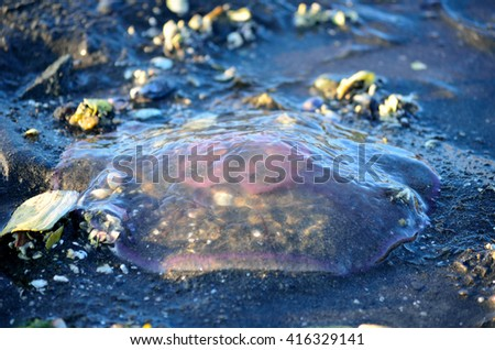 pink transparent jellyfish stranded on sea shore - stock photo