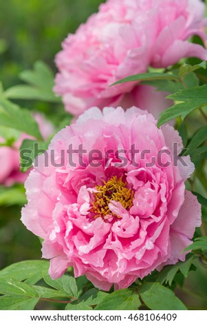 Pink tree peony in a country garden.