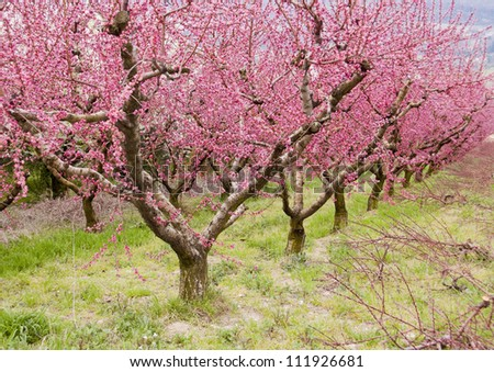 Pink trees in bloom - stock photo