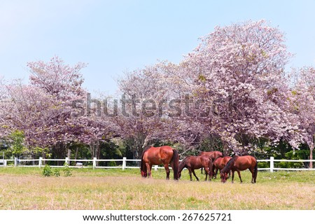 Pink trumpet tree blooming colorful flower in stalls of horse farm Blossom tree over nature environment background under sun light Spring flowers season / Spring time landscape Background in Thailand. - stock photo