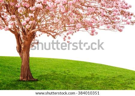 Pink trumpet tree or Rosy trumpet tree, Pink tecoma tree. - stock photo