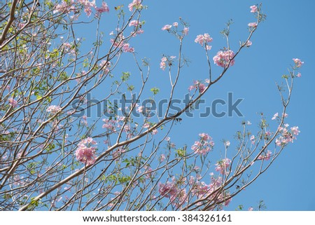 Pink trumpet tree with blue sky, Sakura Flower style thailand