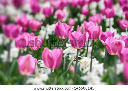 Pink tulip and white narcissus flowers in the garden - stock photo