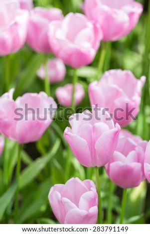 Pink Tulip Blooming Flower Fresh in Spring - stock photo