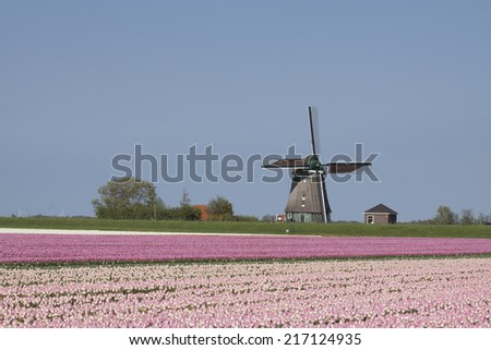 Pink tulip field and wooden duth windmiil. - stock photo