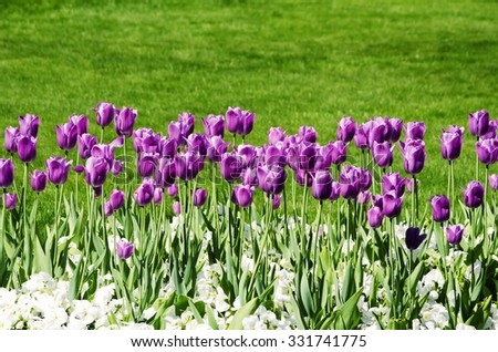 Pink Tulip Field Over Green Grass Background - stock photo