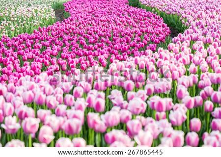 pink tulip fields in bloom - stock photo
