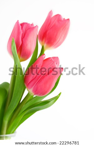 Pink Tulip flowers Isolated - stock photo