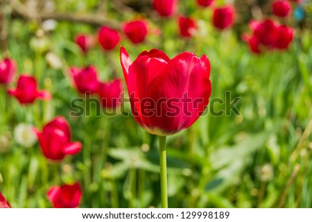 Pink tulip flowers on the plantation