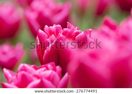 Pink tulip in spring time - stock photo