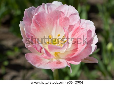 Pink tulip in the spring close up - stock photo