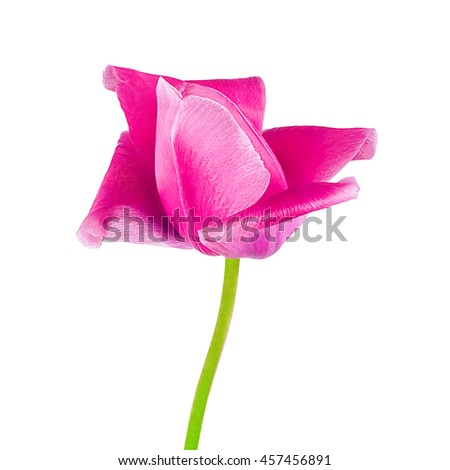 Pink tulip isolated on white background closeup