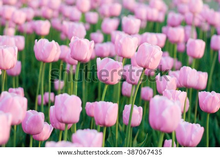 pink tulip meadow