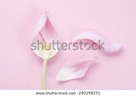 Pink tulip on pink background - stock photo
