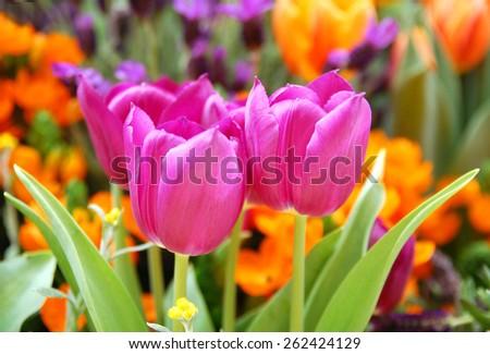 pink tulip on the garden - stock photo