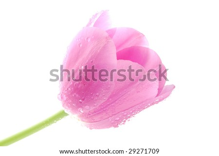 Pink Tulip on the white Background - stock photo