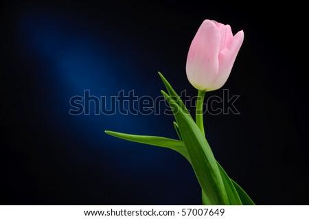 Pink tulip over dark background - stock photo