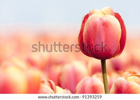 Pink tulip photographed with a selective focus and a shallow depth of field - stock photo