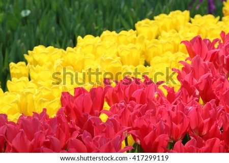 Pink Tulip Pretty Lady with yellow tulips in the background - stock photo