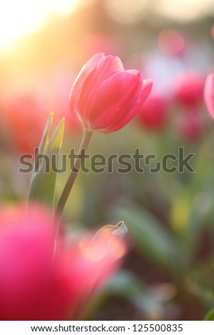 Pink Tulips - stock photo