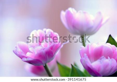 pink tulips - stock photo