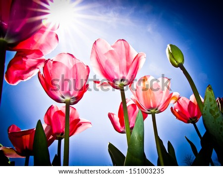 Pink Tulips at Canberra's Floriade festival - stock photo