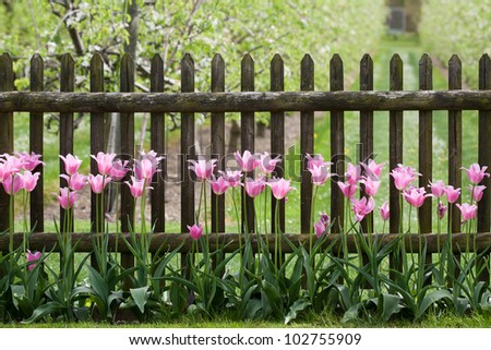 Pink tulips at garden fence - stock photo