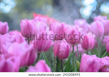 Pink tulips field - stock photo