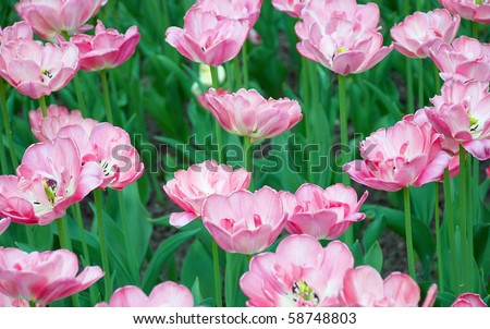 Pink tulips flowers field in spring - stock photo